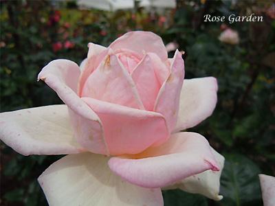 ファースト プライズ:バラ(薔薇)
