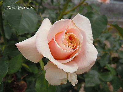 ポール リカード:バラ(薔薇)