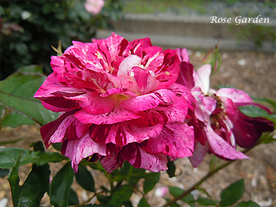 パープル タイガー:バラ(薔薇)