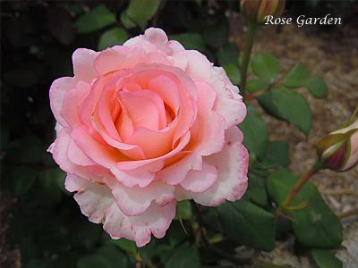 ベラミ:バラ(薔薇)