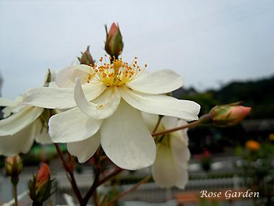 スノー グース:バラ(薔薇)