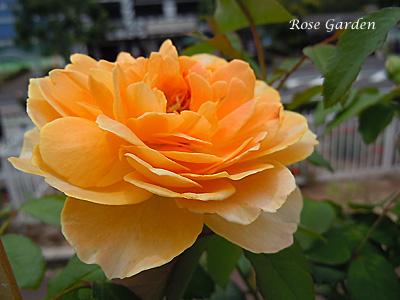 モリニュー:バラ(薔薇)