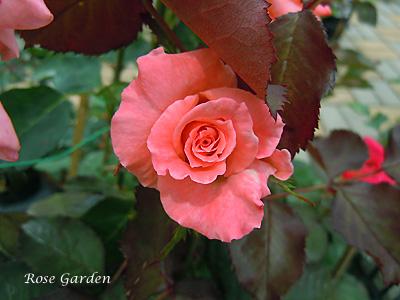 チェリッシュ:バラ(薔薇)