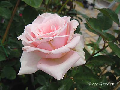 ロイヤル ハイネス:バラ(薔薇)