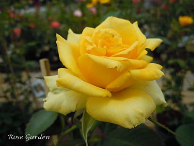ファルツァー ゴールド:バラ(薔薇)