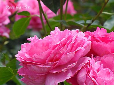 イブ ピアッチェ:バラ(薔薇)