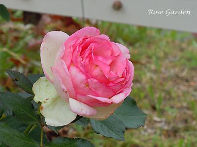 ピエール ドゥ ロンサール:バラ(薔薇)