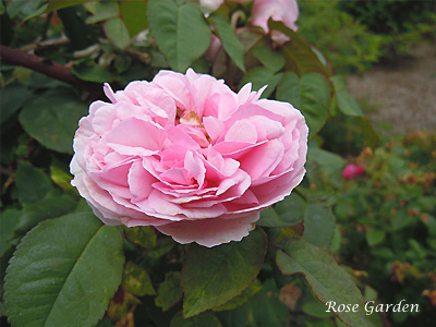 マダム エルンスト カルバ:バラ(薔薇)
