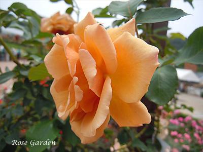 つる ジュリア:バラ(薔薇)