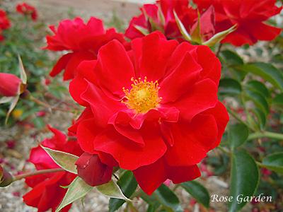 マイナーフェアー:バラ(薔薇)