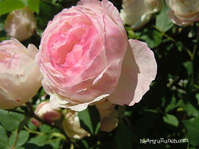マダム ピエール オジェ:バラ(薔薇)