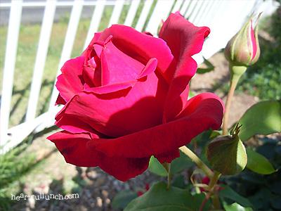 クリストファー ストーン:バラ(薔薇)