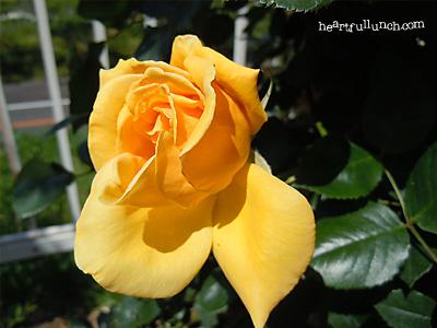 つる ミセス PS デュポン:バラ(薔薇)