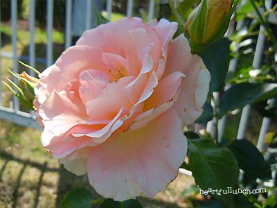 ロココ:バラ(薔薇)
