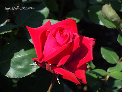 ブルグンド'81:バラ(薔薇)