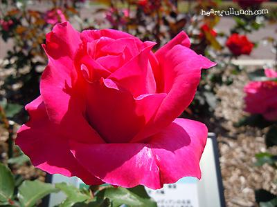 ピーター フランケンフェルト:バラ(薔薇)