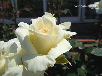 白鳥:バラ(薔薇)