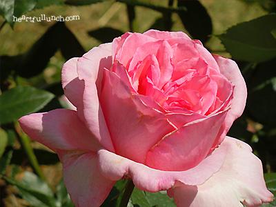ティノ ロッシ:バラ(薔薇)