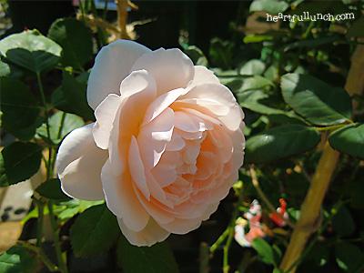 アンブリッジ ローズ:バラ(薔薇)