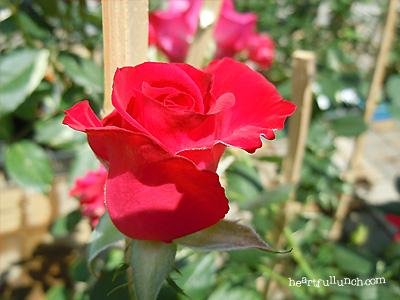 紅:バラ(薔薇)