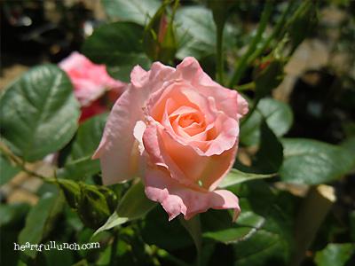 優花:バラ(薔薇)
