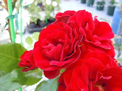 ラバグルト:バラ(薔薇)